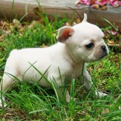 Best 5 Small Dog Breeds For Indoor Pets