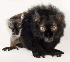 """National Geographic on Instagram: """"photo by @joelsartore   Check out this pair of black lemurs from the @stlzoo! This is a sexually dimorphic species, meaning males and females have striking physical differences (the girl is brown and obviously shy). Black lemurs come from the forests of Madagascar, using their long tails for balance as they jump and climb."""