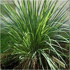 Capim-santo - Cymbopogon citratus  (DC.) Stapf