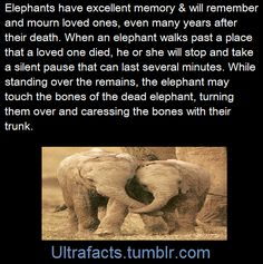 Interesting fact on the memory of an elephant.