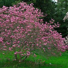 """Magnolia """"Ann."""" She's a hybrid! Cross between M. liliiflora and M. stellata small in stature with. #Relax more with healing sounds:"""