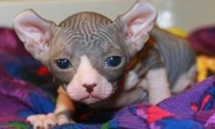 These truly elfish-looking felines are a cross between a Sphynx and an American Curl. So, why cross the Sphynx with the American Curl in the first place? The Sphynx cat has a history of heart problems due to inbreeding. Mixing in the DNA of the American C Crazy Cat Lady, Crazy Cats, Selkirk Rex Kittens, Elf Cat, American Wirehair, American Curl, Sphinx Cat, Cat Whiskers, Sphynx