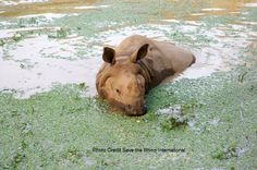 Did you know Greater One-horned rhinos are good swimmers and can dive and feed underwater! The species is found in India and Nepal. Find out more fun facts on this species of rhino at our website below: http://www.savetherhino.org/rhino_info/species_of_rhino/greater_one-horned_rhinos/factfile_greater_one-horned_rhino
