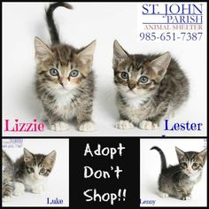 Lizzie, Lester, Luke, Lenny is an adoptable Domestic Long Hair Cat in LaPlace, LA Meet Lester, Lizzie, Luke and Lenny. These babies are 6 weeks old and came in without their mom ... ...Read more about me on @petfinder.com