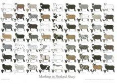 Markings in Shetland Sheep Poster