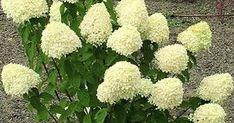 Классный рецепт - Почему не цветет гортензия! Garden, Hydrangea, Flowers, Green