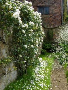 "I want a ""moonlite garden"" all white flowers that blooom or open at nightWhite walled garden.I want a ""moonlite garden"" all white flowers that blooom or open at night White Roses, White Flowers, Colorful Roses, White White, Ivy House, Climbing Roses, White Gardens, Rose Cottage, My Secret Garden"