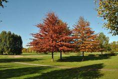 Quercus+palustris