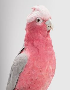 'Queenie' (Galah)  Beautiful Portraits Of The Wild Birds Of Australia Reveal Their Expressive Faces