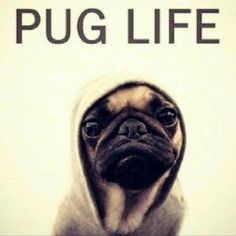 I didn't choose the pug life... the pug life chose me!