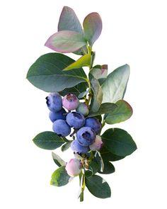 Botanical Flowers, Botanical Art, Botanical Illustration, Watercolor Illustration, Berry Plants, Fruit Plants, Ikebana, Zinnia Garden, Blueberry Plant