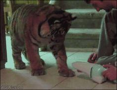 Tiger vs. Dustbuster. [vid]