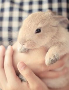 A tan colored rabbit being held in its owner's arms.