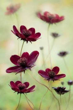 Red Wine Colored Flowers