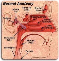 Nasal+Sinus+Ear | Sinonasal, ENT, ear nose throat physicians, 22306, 22310, 20170, VA ...