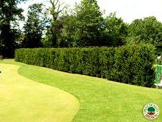 Instant Yew hedge