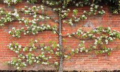 espalier blossom tree - pruning a tree to grow/thrive against a building- looks really neat