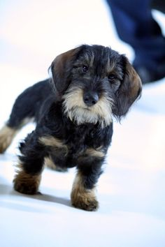 strikingly cute wire-hair CLICK THE PIC and get the #1 eco-friendly flushable and biodegradable dog waste bags.