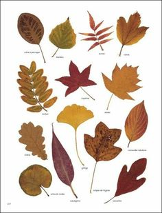 Create a thankful tree with dryed leaves or templates Autumn Art, Autumn Leaves, Flowers Illustration, Impressions Botaniques, Tree Identification, Illustration Botanique, Nature Journal, Leaf Art, Leaf Shapes