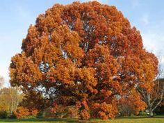 White oak in autumn.
