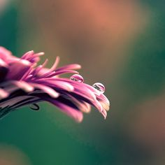 flower dew drops photography