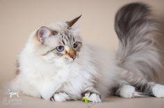 Katzen | Victor's Sibirische Katzen und Neva Masquarade Siberian Forest Cat, Siberian Cat, Pretty Cats, Beautiful Cats, Pretty Kitty, Neva Masquarade, Cat Reference, Cattery, Pets