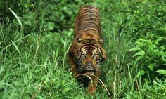 Tigers...