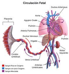 Ilustración del flujo sanguíneo o circulación fetal.