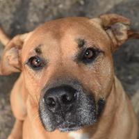 Panama City Fl Mastiff Meet Orion A Pet For Adoption Panama City Panama Pet Adoption Panama City Florida