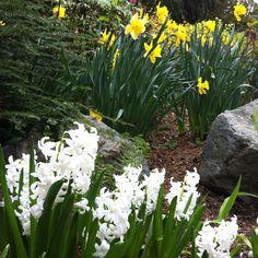 Spring!! Hyacinths and Daffodils!