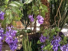 Jacaranda flowers at DarZahia's garden.