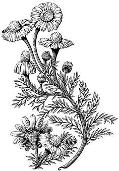 Plants on Illustration Served - Scratchboard illustration of German Chamomile used on a shampoo label. (image)