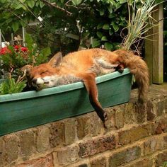 Napping in the sun, the fox is truly my spirit animal. Animals And Pets, Baby Animals, Funny Animals, Cute Animals, Cute Creatures, Beautiful Creatures, Animals Beautiful, Cute Fox, Wild Dogs