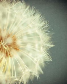 blooming seeded dandelion