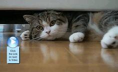 Maru playing around under the sofa. Cute #video  http://www.catvideooftheweek.com/videos/view/3011  #cvotw