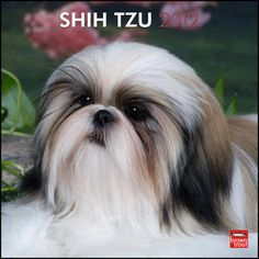 i love my Shih tsu-lulu