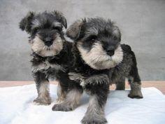 what's cuter than a schnauzer pup? two schnauzer pups!