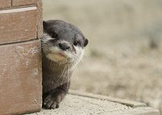The otter is a small mammal creature that lives both in water and land. There are 13 known types of otter that possess regions all around the globe. Otters Cute, Baby Otters, Cute Little Animals, Cute Funny Animals, Nature Animals, Animals And Pets, Otter Facts, Arte Do Kawaii, Tier Fotos