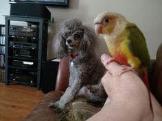 Pearly Girl and Abby Pineapple Conure, Parrot, Bird, Parrot Bird, Birds, Parrots