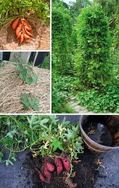 http://www.vysnenazahrada.cz/2014/09/jak-si-vypestovat-bataty-na-zahrade.html