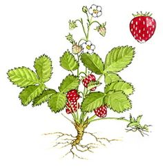 Put your strawberry patch in order