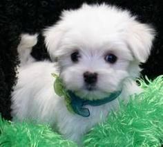 Maltese terriers. My dream dog. How could anyone resist...