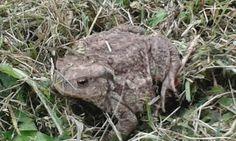 unser neuer follower #frosch #kröte #diepharm # südburgenland Animals, Animales, Animaux, Animal, Animais