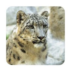 Snow Leopard=A magnificent animal.  Very stealthy and reclusive.  Sadly, poachers have rendered them all but extinct.