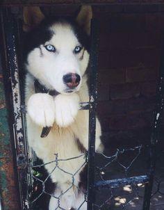 Husky Chillin' on a Fence!