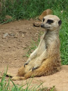 Meerkats are awesome #provestra
