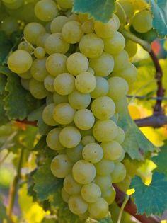 Grape 'Pearl of Zala' - Vitis 'Pearl of Zala'