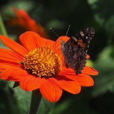#butterflies Painted Lady photographed by Joanne Langabee at Lauritzen Gardens in Omaha Douglas County Nebraska http://ift.tt/2uZKMiY http://ift.tt/2wpUC0T #macro #insectagram #flowers
