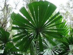 Licuala ramsayi Australian Fan Palm 3+ years old Tree