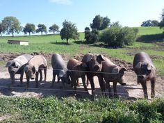 Duroc Schweine Farming, Goats, Cow, Animals, Free Range, Agriculture, Ideas, Animales, Animaux